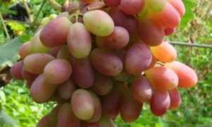 Виноград Шахиня Ирана: описание сорта, фото и подробные характеристики