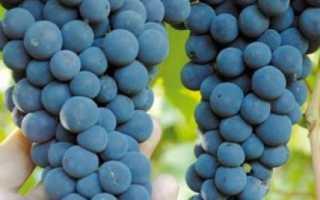 Виноград Амурский прорыв: описание сорта, фото и отзывы садоводов