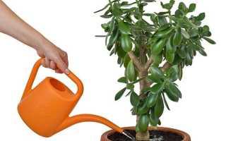 Как правильно поливать денежное дерево зимой, летом, осенью в домашних условиях