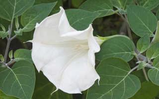 Как из семян вырастить дурман балерина желтая. Датура или дурман: условия выращивания, особенности ухода и размножения