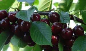 Вишня Брюнетка: описание и характеристики сорта, история селекции и выращивание