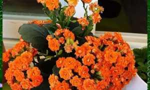 Как сажать каланхоэ цветущий