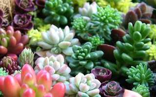 Как из семян вырастить суккуленты из семян