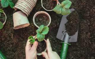 Как правильно высадить клубнику в августе