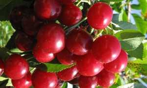 Вишня Лебедянская — описание сорта, фото, отзывы садоводов