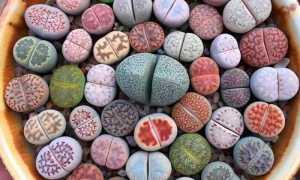 Живые камни: уход и содержание в домашних условиях