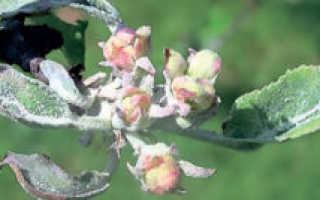 Белый налет на листьях яблони (мучнистая роса): фото, как бороться
