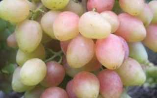 Виноград Анжелика: описание и характеристики сорта, тонкости выращивания