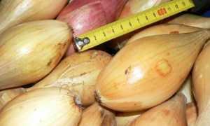 Бамбергер: характеристика и описание сорта, выращивание и уход