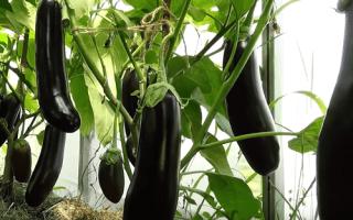 Баклажаны: посадка и уход за рассадой в домашних условиях, температура, режим полива, как правильно ухаживать сразу после всходов и пикировки