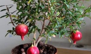 Гранат в Домашних Условиях: Выращивание, Уход, Болезни +Отзывы