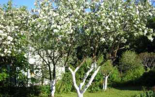 Как правильно побелить яблоню: раствор и схема с фото