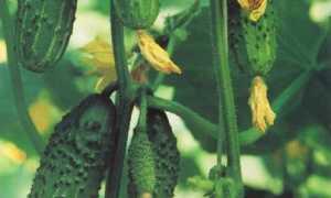 Выращивание букетных огурцов