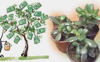 Денежное дерево в доме: приметы и суеверия
