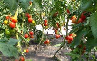 Гибрид помидора «Пинк парадайз F1»: фото, отзывы, описание, характеристика, урожайность