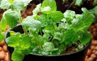 Как посадить мяту семенами и получить роскошную зелень