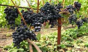 Виноград культурный 'Кишмиш черный' — описание сорта, характеристики
