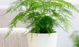 Аспарагус: уход в домашних условиях, фото, виды, размножение, почему желтеют и опадают листья