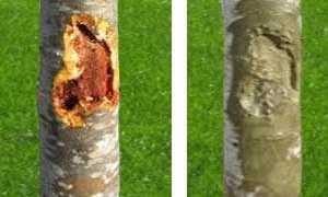 Как можно спасти дерево с поврежденной корой: эффективные методы лечения растений