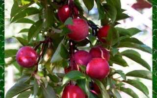 Гибрид абрикоса, сливы и нектарина: описание сорта, уход, посадка