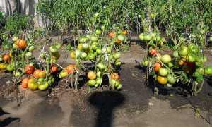 Как правильно посадить томаты лёжа по методу Маслова? Достоинства и недостатки метода выращивания помидоров лёжа по Маслову