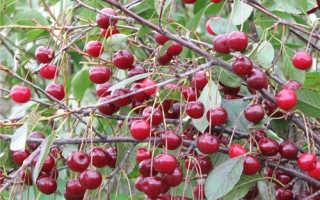 Вишня Шубинка — описание сорта, фото, отзывы садоводов