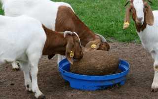 Запуск козы перед окотом: режим кормления, схема доения
