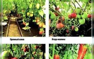 Бражка для помидор и другие советы по их выращиванию (Курган)