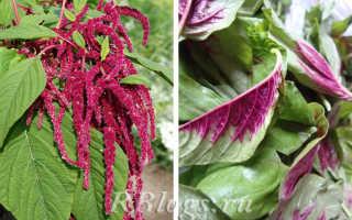 Амарант — растения из семейства амарантовых