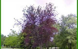 Дерево черемуха, посадка, описание и фото