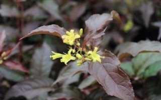 Диервилла сидячелистная: фото, условия выращивания, уход и размножение