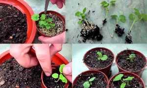 Как правильно посадить герань в открытый грунт или горшок