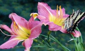 Как размножить лилии осенью или летом, разведение в домашних условиях