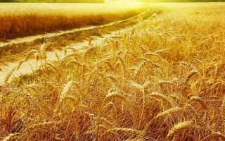 Как сажать пшеницу в ферме
