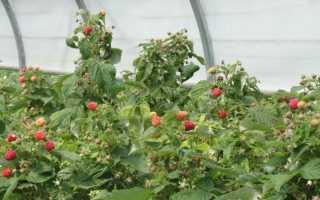Как вырастить малину уход за малиной в теплице
