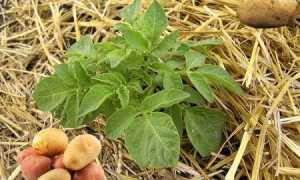 Веерное окучивание картофеля: описание, пошаговая инструкция, особенности, отзывы