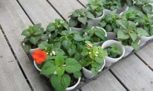 Как вырастить бальзамин? Способы размножения