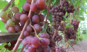 Виноград минский розовый посадка и уход