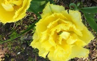 Выкапывание тюльпанов – сроки выкапывания луковиц, как сушить