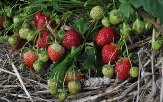 Как посадить и вырастить клубнику-землянику сорта «Полка»