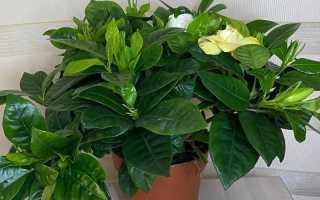 Гардения жасминовидная: чернеют и опадают листья