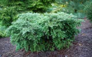 5 необычных хвойных растений для средней полосы. Виды и сорта, особенности выращивания. Фото
