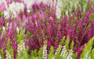 Вереск — лечебные свойства и противопоказания, применение вереска в рецептах народной медицины