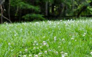 Как сажать клевер – особенности посадки и ухода на газоне