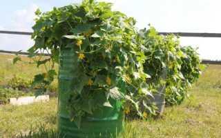 Кабачки на грядках и в бочке – секреты выращивания (Калужская область)