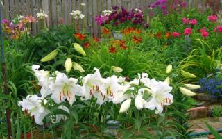 Как выглядят белые лилии- фото, секреты по уходу и выращиванию