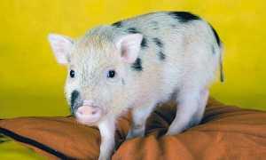 Декоративные свинки минипиги: разновидности и преимущества, особенности содержания маленьких свиней, цена