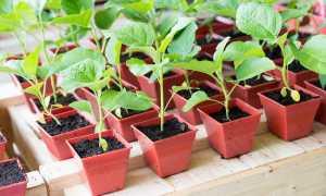 Как поливать рассаду баклажан в домашних условиях?