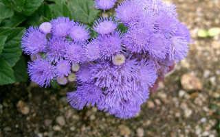 Выращивание агератума из семян: правила посадки на рассаду, ухода, пикировки