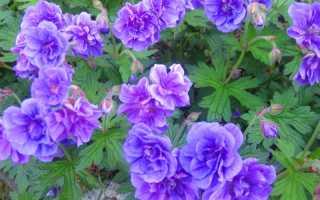 Герань садовая многолетняя: уход и посадка в открытый грунт